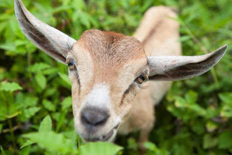 CAREgifts goat